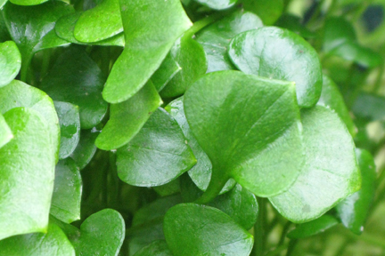 Miner's Lettuce PlanterTomato.com