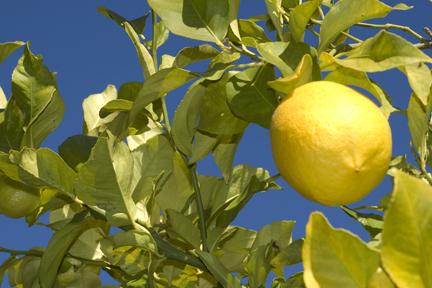 Lemon Tree PlanterTomato.com