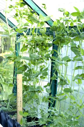 PlanterTomato.com Snap Peas