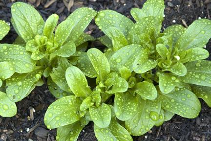 PlanterTomato.com_Mache