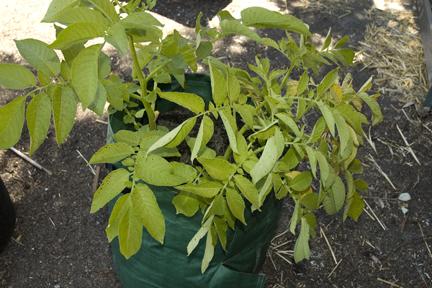 PlanterTomato.comYukonGold1