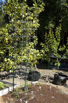 PlanterTomato_TomatoCageCompleted