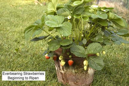 PlanterTomato.com_EverbearingStrawberries