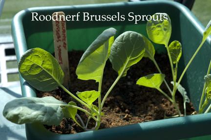 BrusselsSpouts