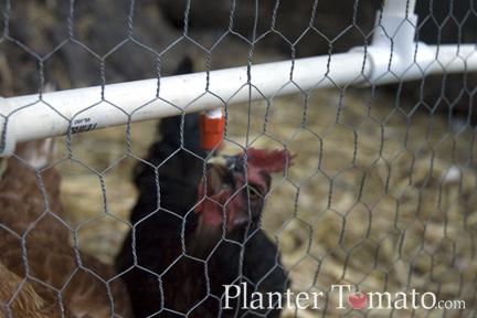 Chicken Waterer #1