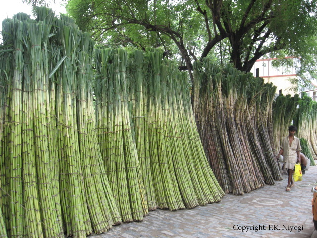 Sugarcane In India