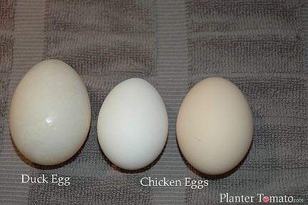 Duck Chicken Egg Comparison