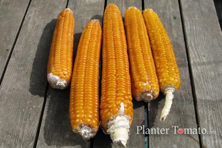Longfellow Flint Corn