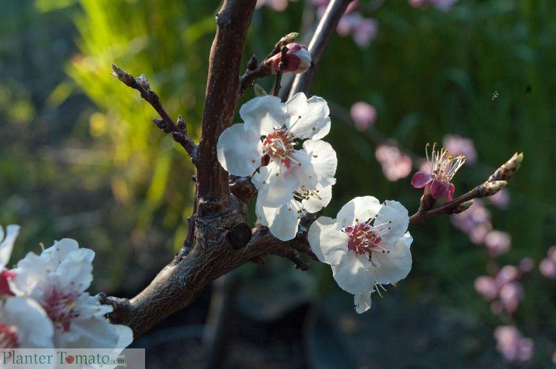 Blenheim Apricot Bloom