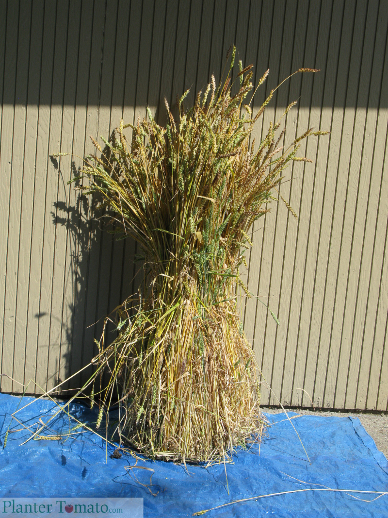 Frassinetto Wheat Sheaves