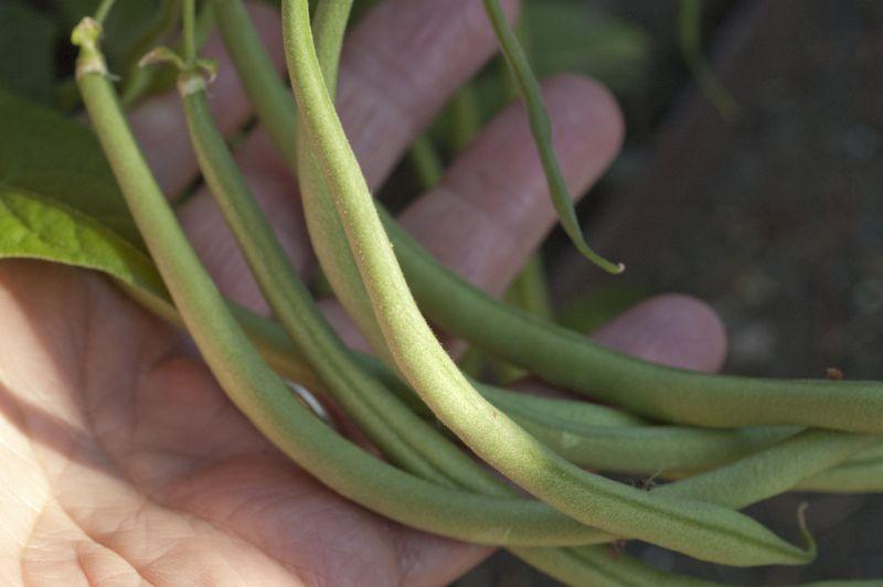 Slenderette Green Beans