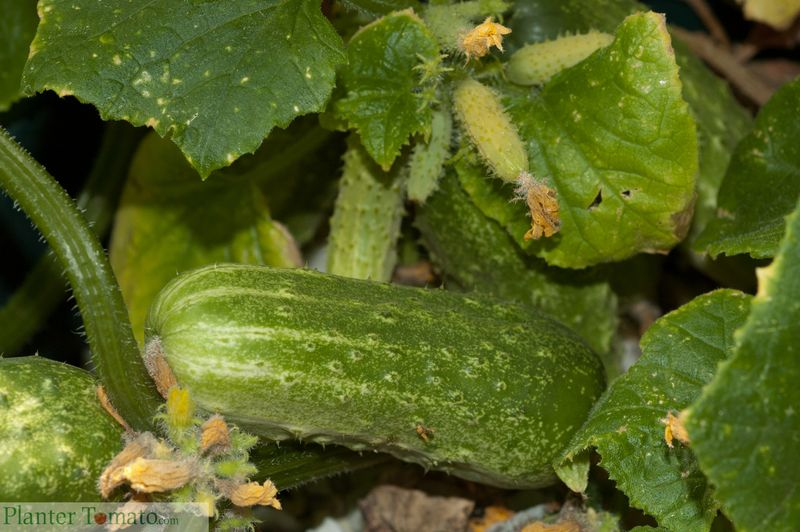 PickleBush Cucumber