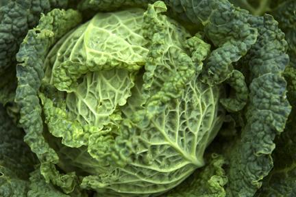 Savoy Cabbage PlanterTomato.com